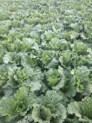 内蒙古自治区赤峰市红山区秋绿60白菜 3~6斤 净菜