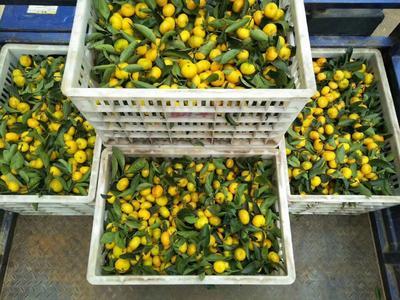 这是一张关于南丰蜜桔 3 - 3.5cm 1 - 1.5两的产品图片