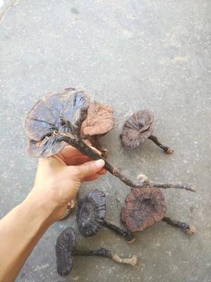 这是一张关于野生灵芝的产品图片