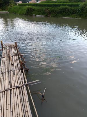 广西壮族自治区河池市南丹县稻花鱼 野生 0.25-1公斤