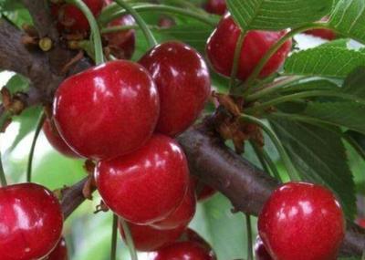 这是一张关于玛瑙红樱桃树苗的产品图片