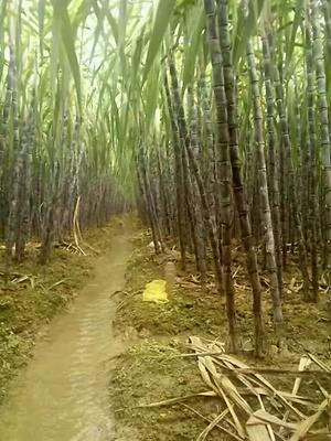 广西壮族自治区崇左市龙州县黑皮甘蔗 2.5 - 3m 5 - 6cm