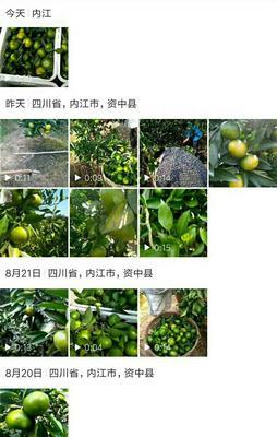 四川省成都市青羊区蜜桔 5.5 - 6cm 2 - 3两