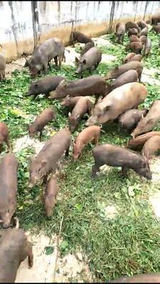 广西壮族自治区南宁市马山县生态野猪 100斤以上 统货