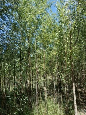 这是一张关于竹柳的产品图片
