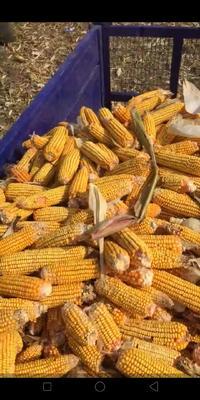 这是一张关于玉米湿粮 霉变≤1% 杂质很少的产品图片