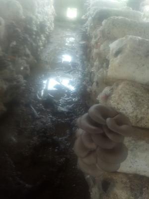 河南省新乡市辉县市鲜平菇 无异色斑点 6cm~8cm ≤8% 无杂质 鲜货