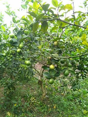 这是一张关于青柠檬 1.6 - 2两的产品图片