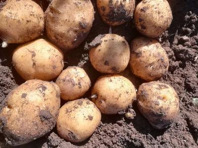 这是一张关于延薯四号土豆 3两以上的产品图片