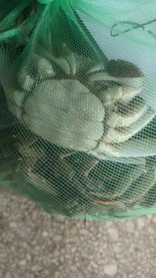 江苏省泰州市泰兴市兴化螃蟹 2.0-2.5两 母蟹