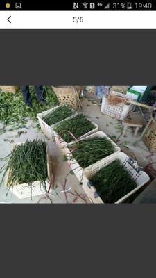 四川省成都市金堂县柑树苗 0.5~1米