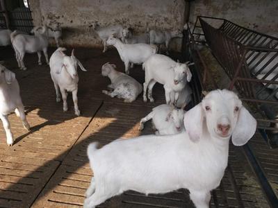 山东省菏泽市郓城县白山羊 30-50斤