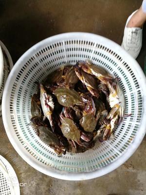 这是一张关于远海梭子蟹 2.5-3.0两 统货的产品图片