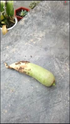 甘肃省天水市秦州区水果萝卜 1.5~2斤