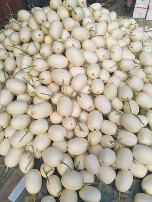 山东省聊城市莘县天蜜脆梨甜瓜 1.5斤以上