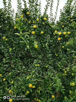 这是一张关于南丰蜜桔 3.5 - 4cm 2 - 3两的产品图片
