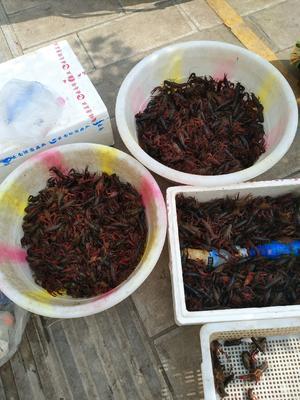 这是一张关于克氏原螯虾 野生 4.0钱的产品图片