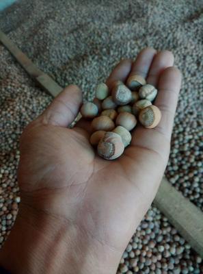 这是一张关于榛子 6-12个月 散装的产品图片