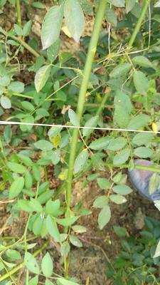 陕西省西安市周至县多苞蔷薇