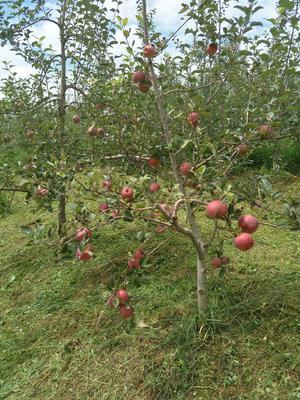 这是一张关于红富士苹果 光果 全红 75mm以上的产品图片