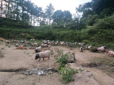 江西省赣州市于都县巴马香猪 60斤以上
