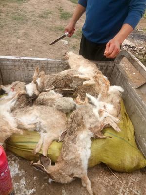 河南省郑州市新郑市野兔 3-5斤