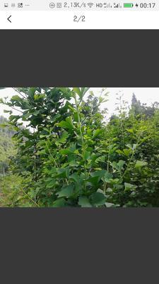 这是一张关于银杏实生树的产品图片