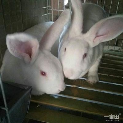 河南省濮阳市台前县獭兔种兔 3-5斤