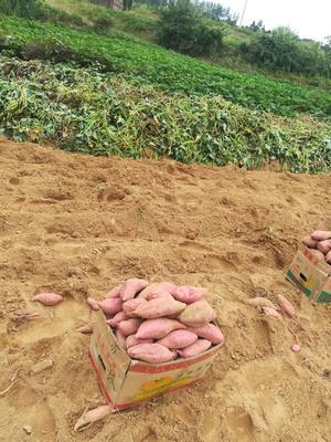 这是一张关于烟薯25 红皮 3两~6两的产品图片