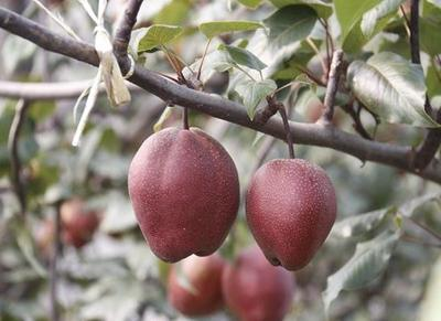 这是一张关于全红梨树苗 1~1.5米的产品图片