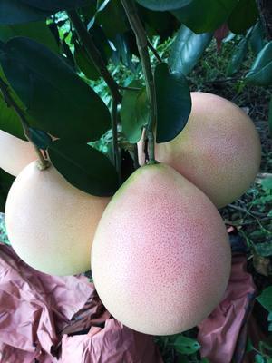 广东省梅州市蕉岭县三红蜜柚 2斤以上