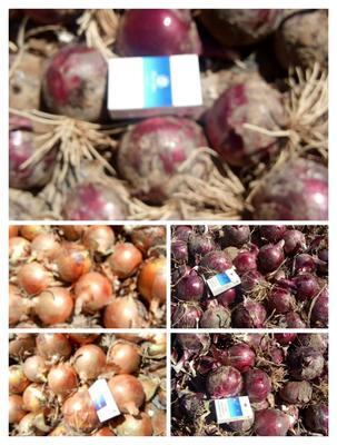 甘肃省张掖市高台县紫色洋葱 8cm以上 黄皮 2.5-3两