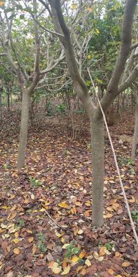 山东省青岛市黄岛区单樱 6~8公分 2~3米