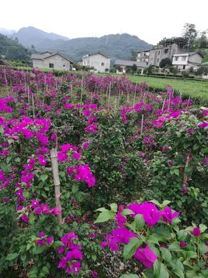 四川省乐山市沐川县紫花三角梅 0.5~1.0米