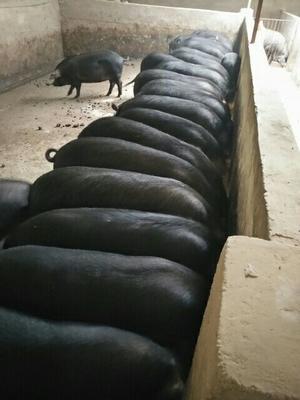 四川省绵阳市安县黑猪 300斤以上