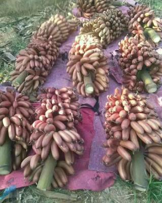广东省广州市番禺区红蕉苗