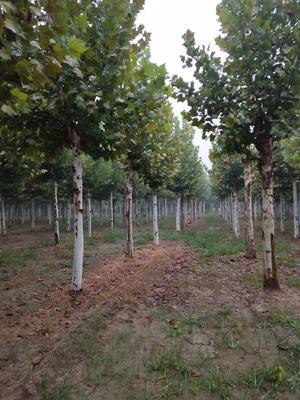 这是一张关于法国桐树的产品图片