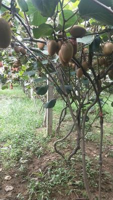这是一张关于周至猕猴桃 80~100克的产品图片
