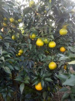 这是一张关于爱媛38号柑橘 6.5 - 7cm 3两以上的产品图片