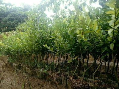 这是一张关于北京柠檬苗的产品图片