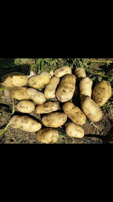 荷兰15号土豆 2两以上