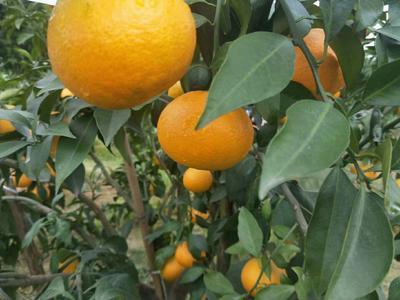 这是一张关于爱媛38号柑橘 4.5 - 5cm 3两以上的产品图片