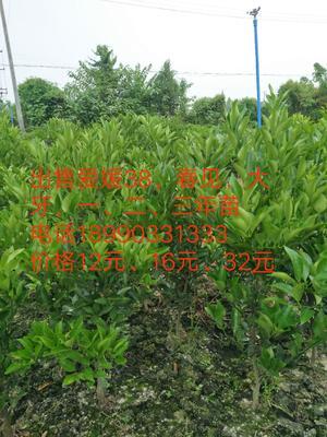 四川省眉山市青神县柑树苗 0.5~1米