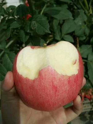 这是一张关于红富士苹果 膜袋 片红 75mm以上的产品图片