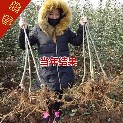 矮化短枝富士苹果苗 1~1.5米