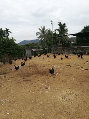 海南省三亚市天涯区黑鸡 母 3-4斤