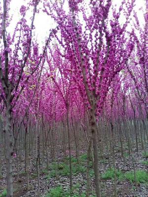 这是一张关于巨紫荆的产品图片