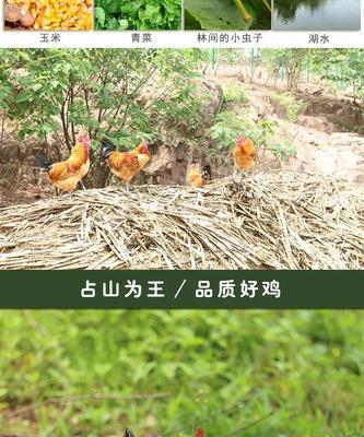 这是一张关于土鸡 母 2-3斤的产品图片
