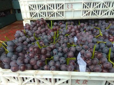 这是一张关于巨峰葡萄 5%以下 2次果 1.5- 2斤的产品图片