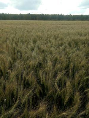 内蒙古自治区呼伦贝尔市牙克石市普通小麦